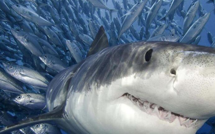 Why are dolphins not afraid of big sharks?