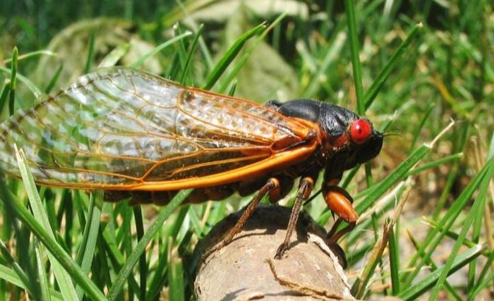 The cicada, which has been sleeping underground for 17 years, is here, occupying the United States and sweeping 15 states!