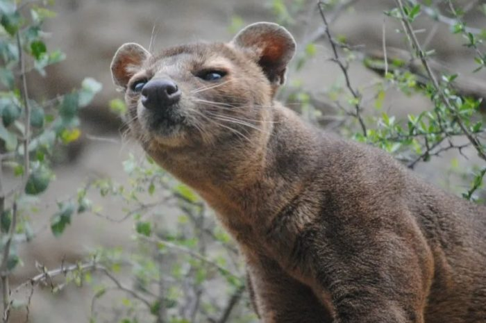 The most polite mating? Madao mongoose mating in the tree, males waiting in line, no one dared to jump in